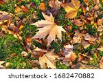 Fallen Maple Leaves On The...
