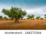 olive tree fields with red soil | Shutterstock . vector #168272366