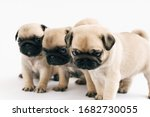 Puppy Pugs On White Background...