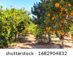 Small photo of orange tree with fruits, beautiful drove of orange. Ripe organic oranges hanging from an orange tree.