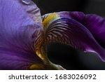 Purple And Yellow Bearded Iris...