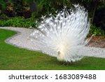 All White Male Peacock Bird...