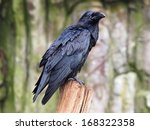 Small photo of raven