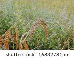 rice blast disease . rice... | Shutterstock . vector #1683278155