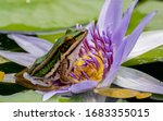 A Green Frog On A Lotus Leaf.