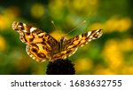 American Lady Butterfly Vanessa ...