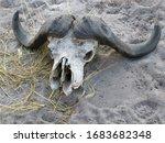 Buffalo Skull In Botswana\'s...