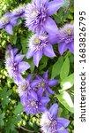 Blooming Purple Clematis Flower ...