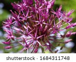 Beautiful View Of Purple Allium ...
