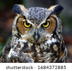 Eastern Screech Owl Close Up...