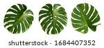 Vibrant Green Mostera Plant...