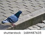 Rock pigeon in the street...