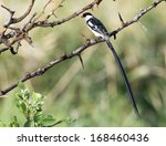 A Pin Tailed Whydah Perching O...