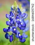 Close Up Of A Bluebonnet In...