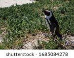 Endangered Cape Penguin Also...
