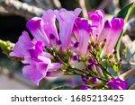 Purple Flowers Of The Garlic...
