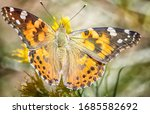 A Close Up Single Painted Lady...