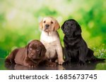 Labrador Three Colour Puppies...