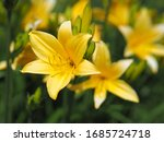 Two Yellow Day Lily Flowers On...
