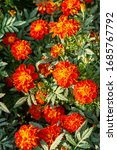 It's A Photo Of French Marigold ...