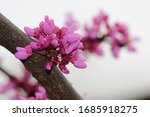 Buds On The Branch Of A Redbud ...