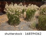 Small photo of Stipa gigantea is grown as an ornamental grass for planting as single specimens and massed drifts in parks, public landscapes, and gardens.