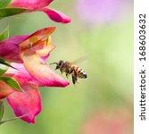 Honeybee Flying To Foxglove...