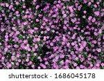 pink gypsophila paniculata at... | Shutterstock . vector #1686045178