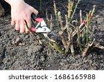 Pruning Rose Bush And Cutting...