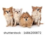 Little Chihuahuas And Spitz In...
