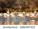 Flock Of Greater Flamingos ...