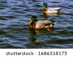 Two Ducks Floating In The Lake