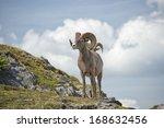 Big Horn Sheep Ovis Canadensis...