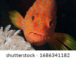 Red Fish Head  Coral Hind...
