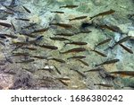 European chub , Fish in the crystal clear water, Plitvice Lakes National Park, Croatia