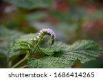 Heliotropium Indicum...