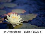 Beautiful Thai Lotus That Have...