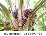 Bunch Of Oil Palm Bunches On...