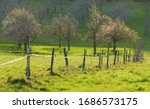 Row Of Blooming Fruit Trees On...