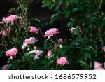 Roses Bush As Floral Background