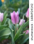 Exotic Lilac Tulips ...