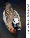 Swimming White Head Duck