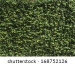 Creeping Plant  Ficus Pumila....