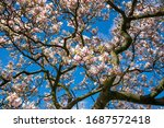 Blossoming Magnolia Tree...