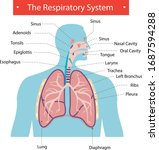 the respiratory system lung... | Shutterstock .eps vector #1687594288