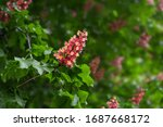 Red Chestnut Blossoming Tree In ...