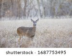 A White Tailed Doe In A Meadow...