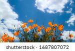 California Poppies In Blue Sky...