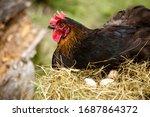 Chicken Hatching Eggs. The...