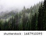 Fark Fir Forest With Fog